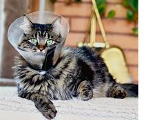 Кота кастрировали ему можна лизать рану