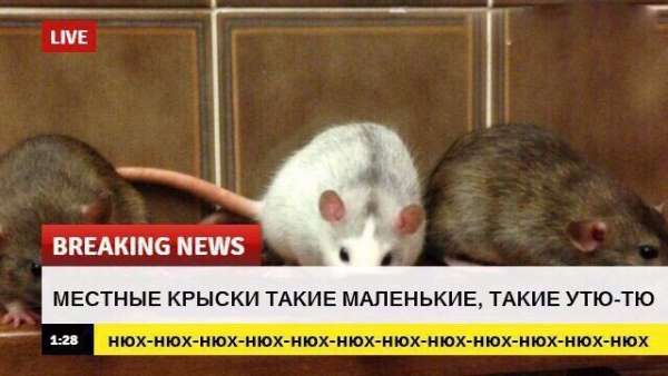 breaking news, крысы