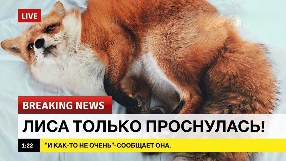 breaking news, лиса